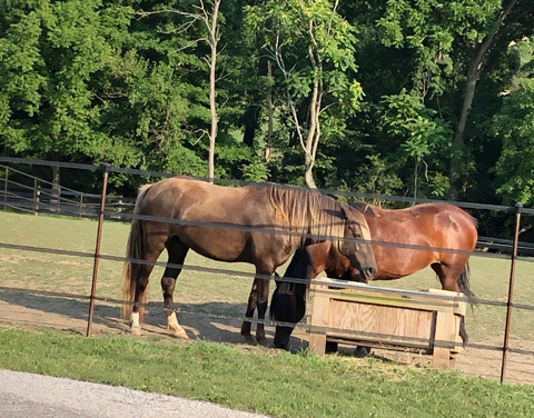 kentucky_mountain_horse_and_mustang
